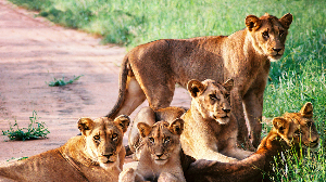 狮口脱险、山火逃生 美女摄影师讲述多彩刺激的南非故事
