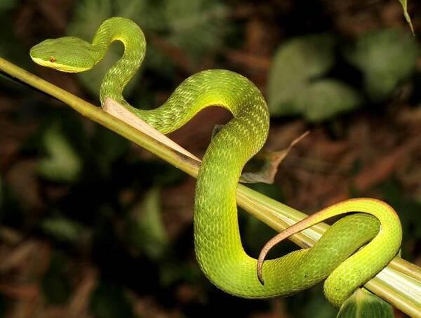 竹叶青蛇消化食物很慢,每吃一次要经过5—6天才能消化完毕,但消化高峰图片