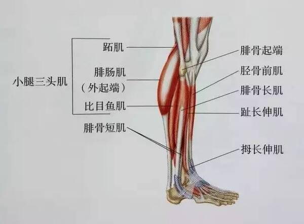 下面是小腿的肌肉结构图 可以简单了解一下