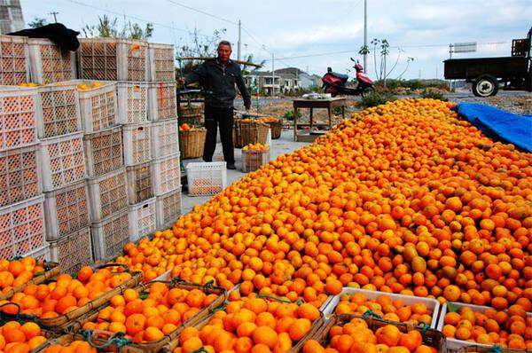 南丰蜜桔滞销,0.25每斤无人问津,砂糖橘会否重