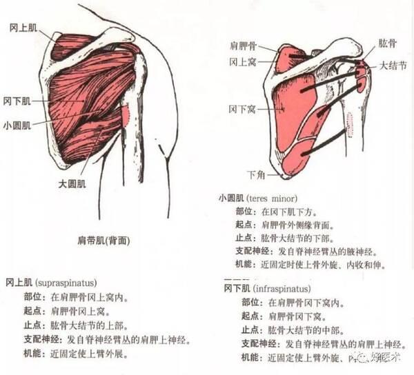 手臂关节骨头结构图片