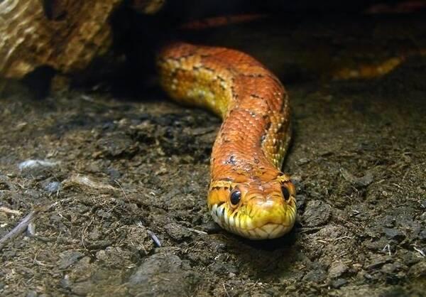 亚洲锦蛙_玉米锦蛇,是来至美国东南部的无毒蛇,它是很有观赏性