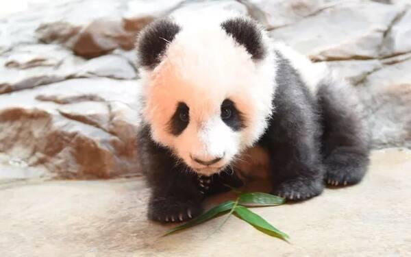 (摄于长隆野生动物世界) 开始学走路 刚出生时候, 熊猫宝宝不会用