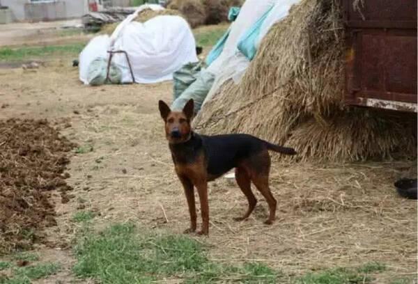狗这种动物,晚上都是趴在地上睡觉,耳朵贴在地上,当你的住房周围有人