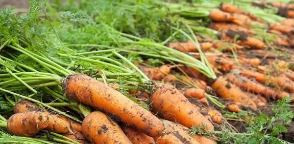 胡萝卜含有大量胡萝卜素,其分子结构相当于2个分子的维生素a,在肝脏