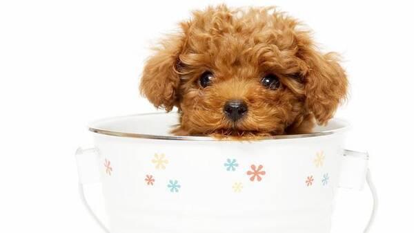 """说说""""茶杯犬""""的那些事儿"""