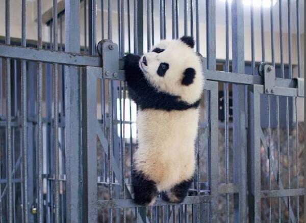 成都大熊猫繁育研究基地动物管理部主管吴孔菊补充说,在给熊猫采血时