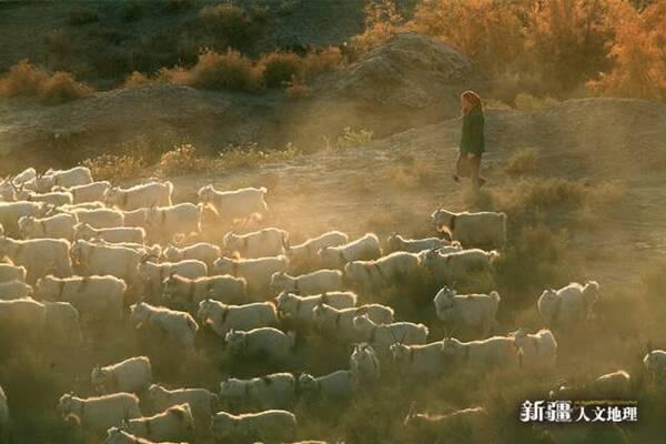在南疆叶尔羌河流域,还有一种羊叫多浪羊,包括喀什地区的麦盖提,巴楚图片
