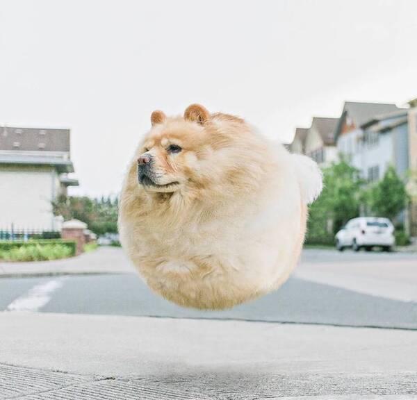 当狗狗变成球状物 常在网上看见铲屎官说自己养了一坨球,又萌又软,令人爱不释手。印度尼西亚有一位摄影师阿迪蒂亚(Aditya),利用自己的后期技术,把每个呆萌的宠物变成了真正的气球,圆圆鼓鼓的真是一瞬间胖三圈啊!让我们来看看当动物们变圆以后