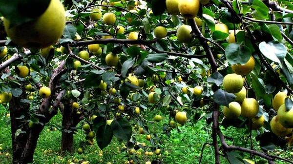 比一般种植技术更能避免农药残存,瑶山雪梨比南方梨早40天下树,6月