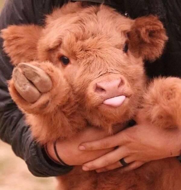 其实,牛也是很萌的啊 品种 苏格兰高地牛