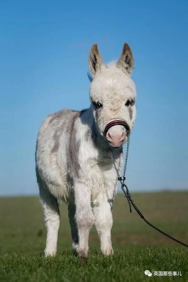 原标题:长得像草泥马,性格像汪星人这只全世界最袖珍的超萌小驴来!吸驴了! 今天要说的是它, 一只生活在英国的迷你驴,Ottie...  还不到9个月大的它, 长了一张萌萌的小脸蛋...  娇小可爱的身材...  虽说小家伙1岁都还不到,但已经创造了属于自己的驴生之最: 全世界个头最小的迷你驴!  它只有19英寸高(约48厘米), 和矮马在一起时,小Ottie的画风是这样的.