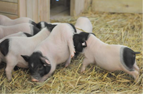 ,养猪人告诉你阉割公猪要注意这5点,否则损失大