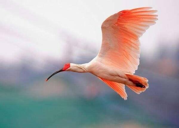 【朱鹮】朱鹮是我国的珍稀动物,长得十分漂亮.