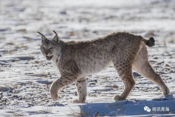 国家一级保护动物5种,即 雪豹,藏野驴,野牦牛,藏羚羊,白唇鹿;二级保护