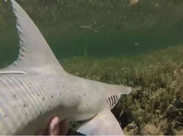 窄头双髻鲨分布于北美洲和南美洲的近海浅水区域。 在不久前于旧金山举行的美国综合与比较生物学学会年会上,科学家报告称找到了食素鲨鱼。窄头双髻鲨能有效地咬碎海草,表明素食是该物种食物组成中重要的一部分。研究人员还在窄头双髻鲨的肠道里发现了能分解植物材料的酶;对鲨鱼血液进行分析,发现有一种存在于海草中的营养物质含量很高。这一结果表明,窄头双髻鲨的身体能真正对分解后的植物进行利用。 纯科技 一个国际研究小组26日在美国《科学进展》杂志上介绍,他们设计了一种新型量子算法,有望推动量子计算在物理、化学等多个领