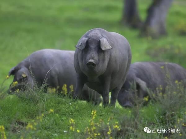 原标题:伊比利亚猪的传说和真相  一眼识别火腿等级 周一民俗周三历史周五吃货周末鸭村人 西班牙火腿贵不贵,全看猪的出身!大家都知道,西班牙最好的火腿,是伊比利亚猪。但伊比利亚猪 Cerdo Ibrico有四种。并不是贴了Ibrico标签,就是好火腿。 在火腿种类中,Ibrico猪产的火腿就是质量保证。有标注:Ibrico,就算是西班牙的好火腿了。 但是,在Ibrico里头,也分等级,有好的,比较好的,最好的。  在伊比利亚猪猪家族里,分三六九等,讲究血统,拼爹拼娘。 今天大米良