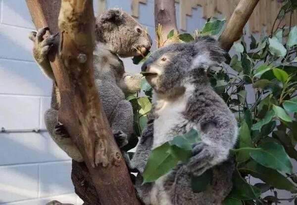 """那么 南京红山森林动物园的 两只考拉""""梧桐"""",""""茉莉"""" 已经正式迎客了."""