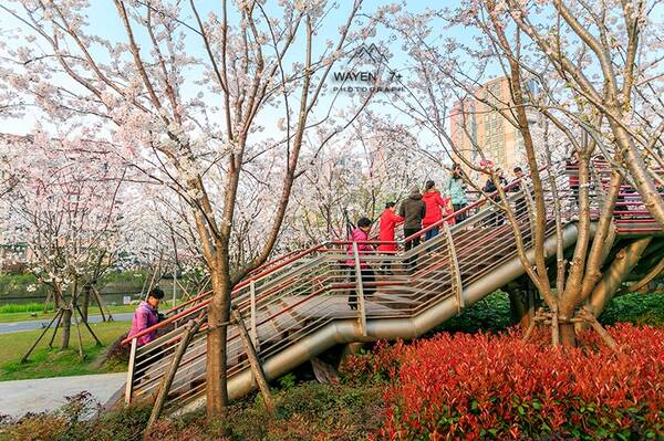 美爆了 宁波市区这座以 樱花 命名的公园,带着 十里樱花林 惊艳宁波