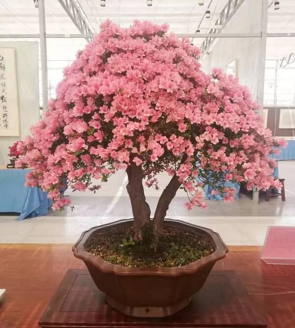 第三届杜鹃盆景展明天开幕!湖州最美的花都在这了图片