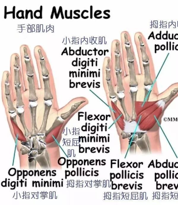详细的手部解剖