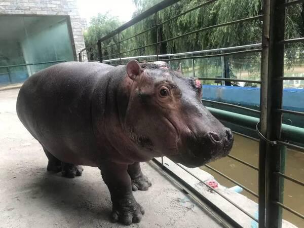 5月29日,记者来到六盘水动物园河马馆内看到,新引进的小河马正在它的