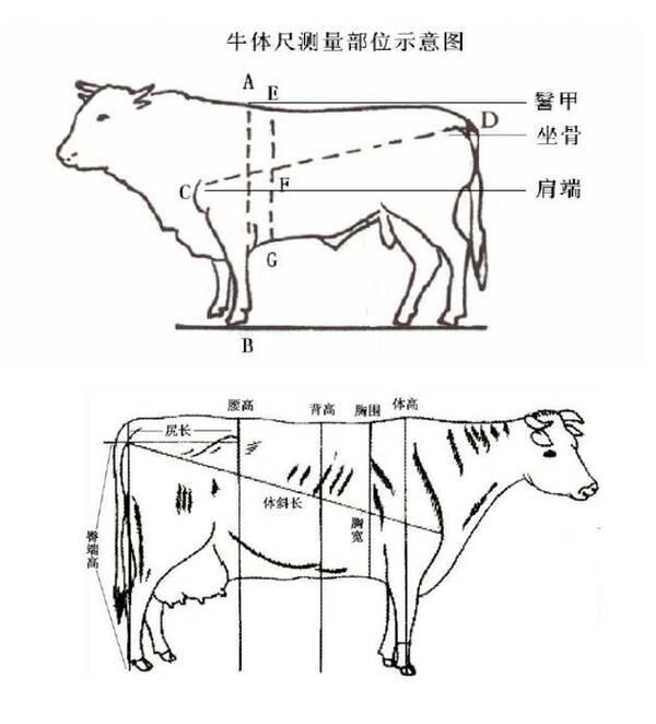买牛卖牛,新手这样估牛, 比曹冲称象还绝!图片