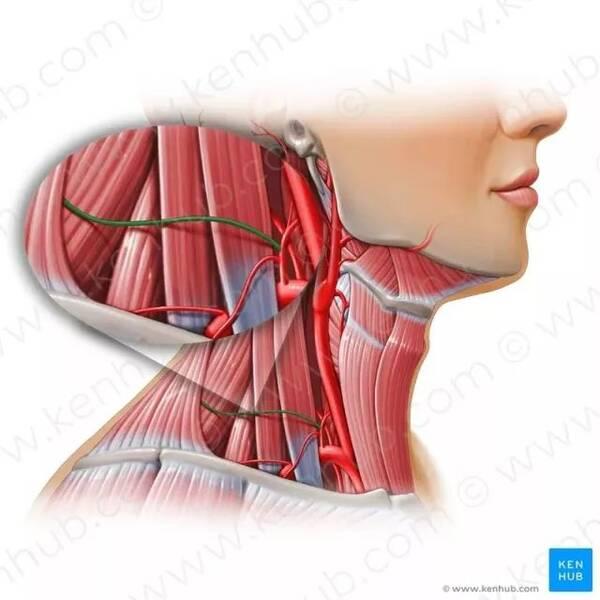 因为我们肩颈的结构是连接着大脑和躯干,而颈椎是脊椎中最容易受伤的