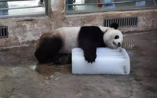 微播|武汉市动物园大熊猫伟伟疑受虐待 回应:涉事饲养