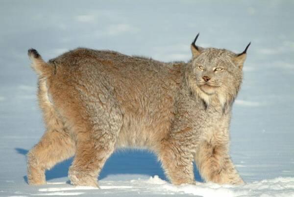 雪地中的4种猫科动物:雪豹尾巴最长,猞猁尾巴最短,东北虎最胖
