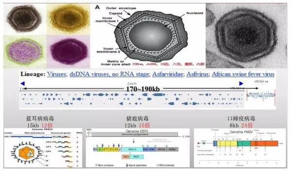 图2. asfv病毒粒子和基因组结构示意图(吴晓东)