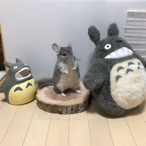 """日本超疗愈毛丝鼠真实还原宫崎骏""""龙猫""""场景,引起网友店吗有潍坊情趣用品图片"""