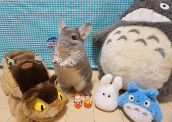 """日本超疗愈毛丝鼠真实还原宫崎骏""""龙猫""""场景,引起宾馆带有网友房通辽情趣的图片"""