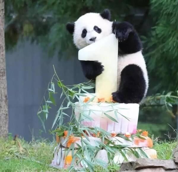 """东莞香市动物园熊猫""""生日趴"""",欢乐不停歇"""