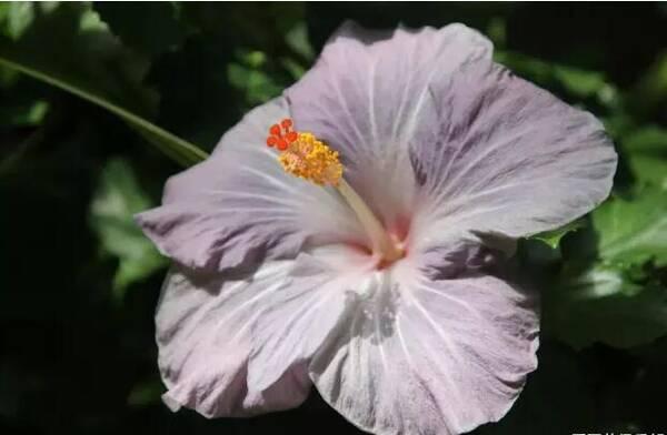 深紫色的扶桑花