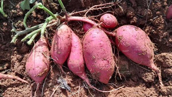 红薯制作动物图片