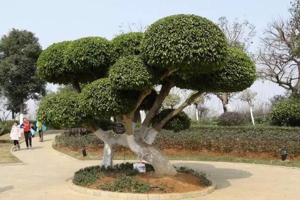 榕树 图片
