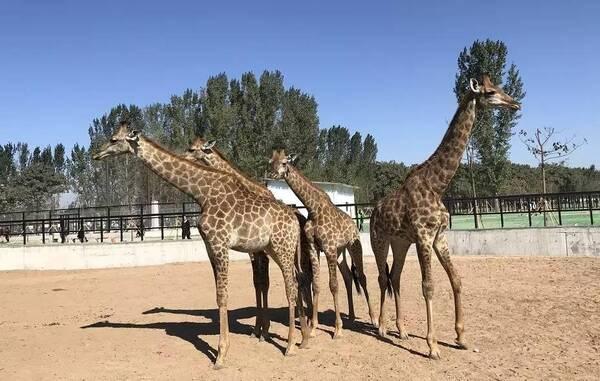 衡水野生动物园是2018年衡水市委,市政府确定的重大市政工程,也是武邑