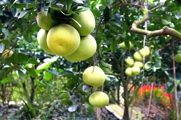 花香果居在成都新都区的斑竹镇,这儿的柚子特别好吃,而且可以自己采摘