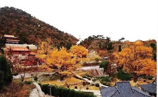 唐山国际旅游岛菩提岛上共有菩提树2600多棵,包括百年以上古树495