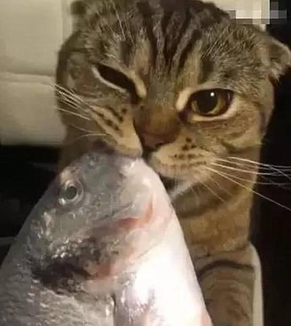 猫咪吃鱼,方向不对,结果吃着吃着就吻起来了,鱼:你是