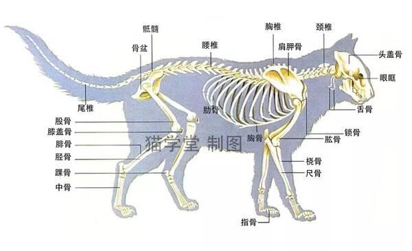繁育人必修课:猫的骨骼结构图