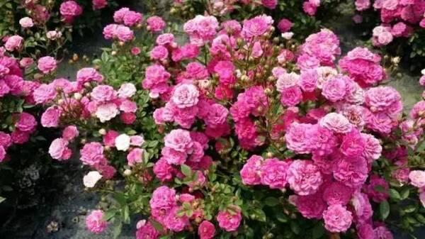 五月玫瑰_五月玫瑰园