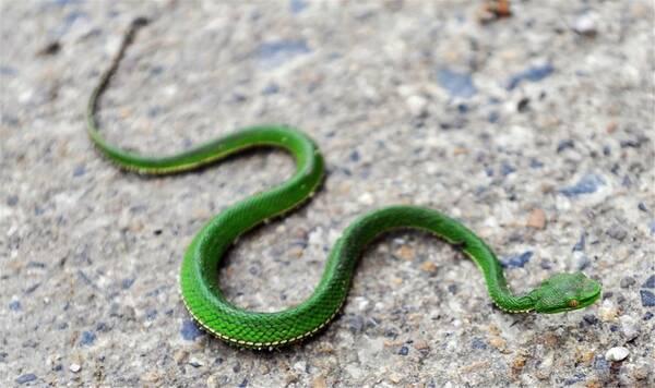 竹叶青蛇白天和晚上都会出来活动,而且树栖性很强,蛇性为神经质,随时图片