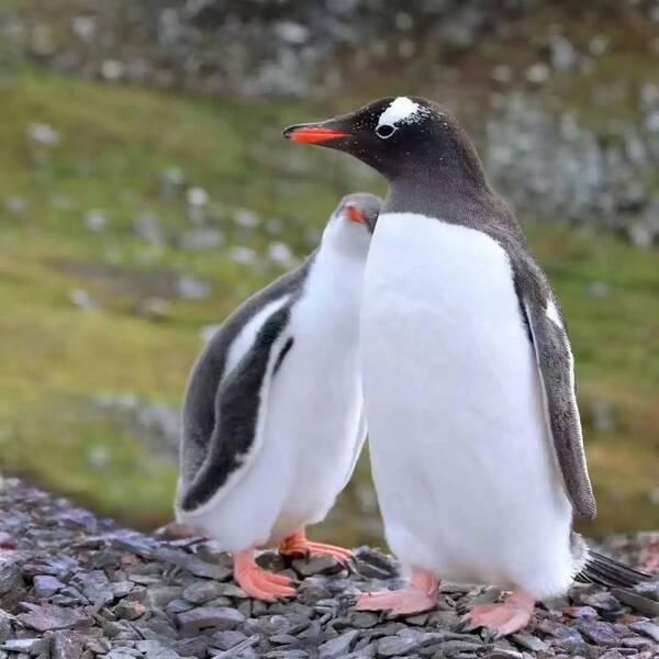 """南极v移民 北极熊""""移民""""到南极?鸽子不怕企鹅吃碳图片"""