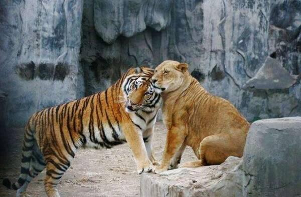 大猫科动物最致命的战斗, 老虎美洲豹猎豹狮子之间的