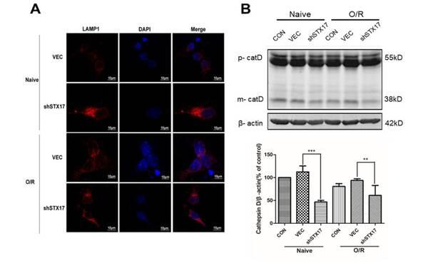 敲低stx17影响溶酶体功能(a)免疫荧光显示lamp1聚集(b)溶酶体酶