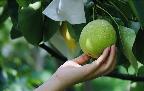 """在仁寿县的西南方,有一个美丽小镇,它的名字叫做曹家镇。在那里的近3万亩土地上,有10万多株百年古梨树和成片的梨树林,因此它也被称为 """"百年梨乡""""。"""