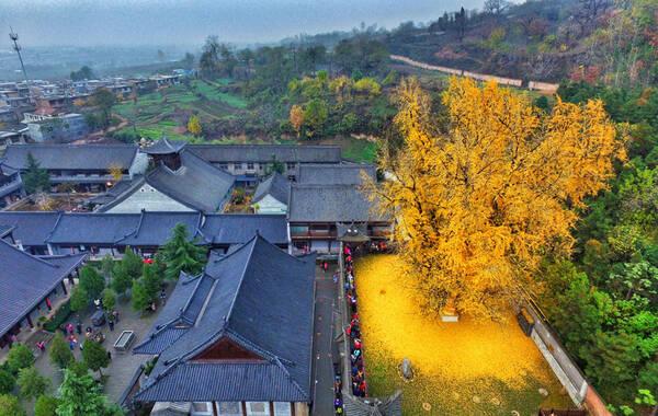2015年11月21日,西安市长安区终南山下的古观音禅寺内人们排着长队,欣赏、拍摄这里的千年古银杏树,场面十分壮观。从今年的11月12日起,银杏叶子开始凋落,前几天叶子越落越多,金黄的银杏叶子像是在银杏树下铺成了黄金的毯子。