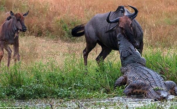 08:49 1/9在南非一家野生动物园里,一只鳄鱼突袭了一只毫无防备的角马